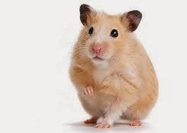 hamster Why Hamsters Make Good Budget Friendly Pets